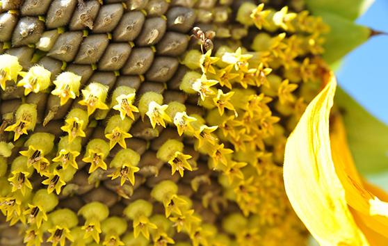 ¿Qué pueden hacer las semillas de girasol por nosotras?