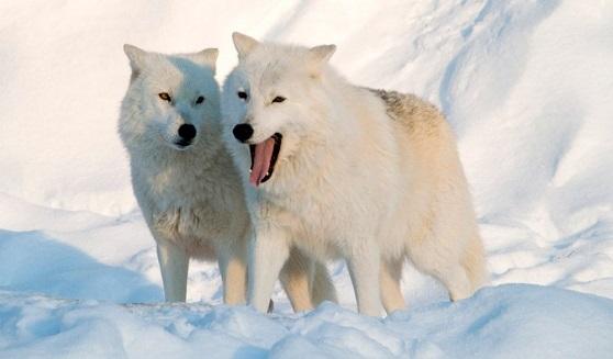 Lobos Articos